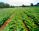 Field of CA soybeans in Brazil