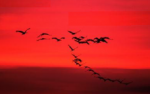 Birds Flying in Red Sky