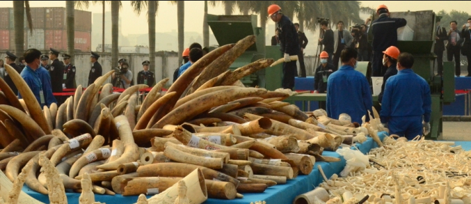 Destruction of Ivory Stockpiles