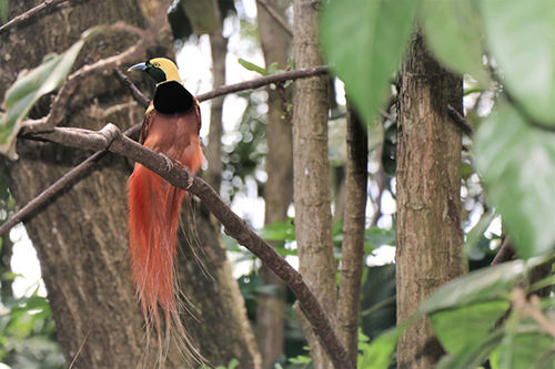 The spectacular Raggiana bird of paradise is endemic to the forests of Papua New Guinea